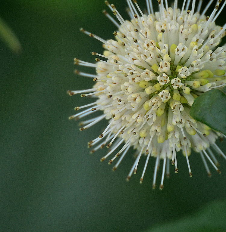 A Buttonbush inflorescence is a grouping of small flowers. The projecting needle-like styles create the starburst.