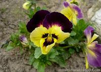 Bratek ogrodowy- Viola x wittrockiana