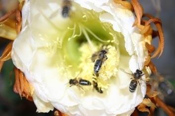 Abejas visitando cactus - Bees visiting cactus.
