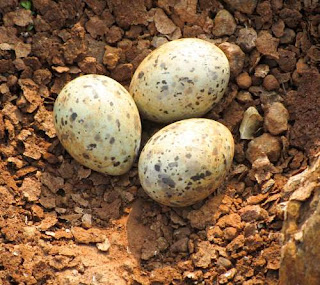 Sterna aurantia eggs