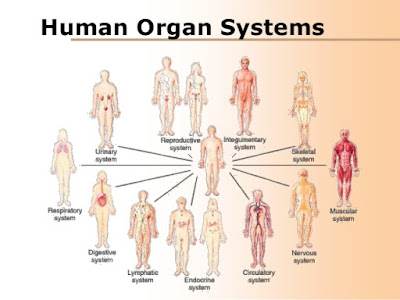 http://www.slideshare.net/mrtangextrahelp/08-human-organ-systems