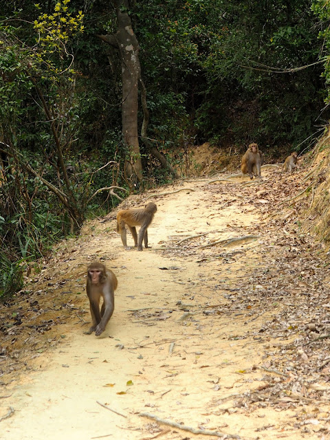 Monkeys on the trail in Kam Shan Country Park on the Monkey Mountain hike, New Territories, Hong Kong