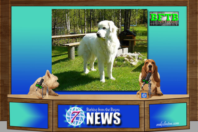 BFTB NETWoof News reports on Great Pyrenees escape