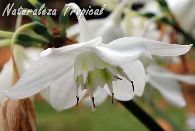 Flor típica del famoso Lirio del Amazonas, Eucharis amazonica