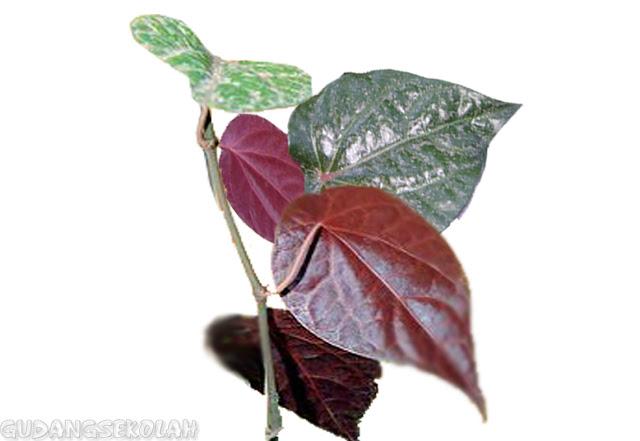 Hanya 3-5 Lembar Sirih Merah Direbus, Penyakit Mematikan ini Bisa Hilang, Simak Manfaatnya!