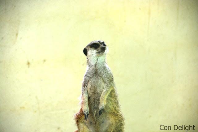 meerkat suricate never mind it is just so cute