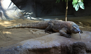 How Fast Can Komodo Dragons Run