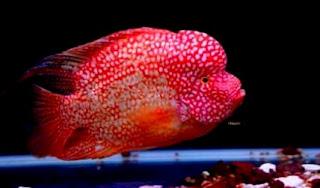 Ikan louhan super red texas