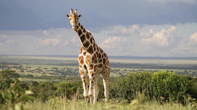Wallpaper: Animal: Wild Giraffe