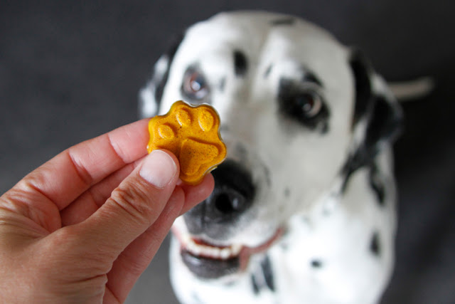 Dalmatian dog begging for a turmeric gelatin gummy treat shaped like a paw