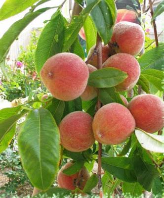 người đau dạ dày nên kiêng ăn quả đào