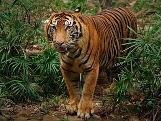 Indonesia merupakan negara yang kaya akan sumber daya alam baik tanaman inginpun faunanya 10+ Contoh Hewan Terlangka Di Indonesia dan Habitatnya