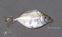 Common Ponyfish