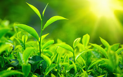 Manfaat Alami Teh Hijau Untuk Kesehatan Tubuh