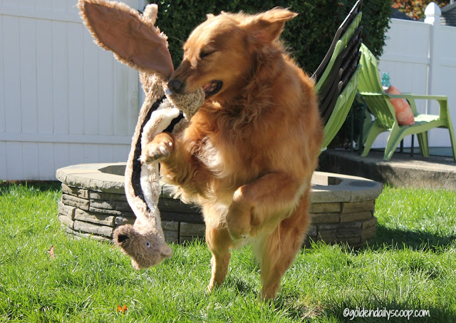 golden-retriever-dog-playing-with-toy-in-backyard