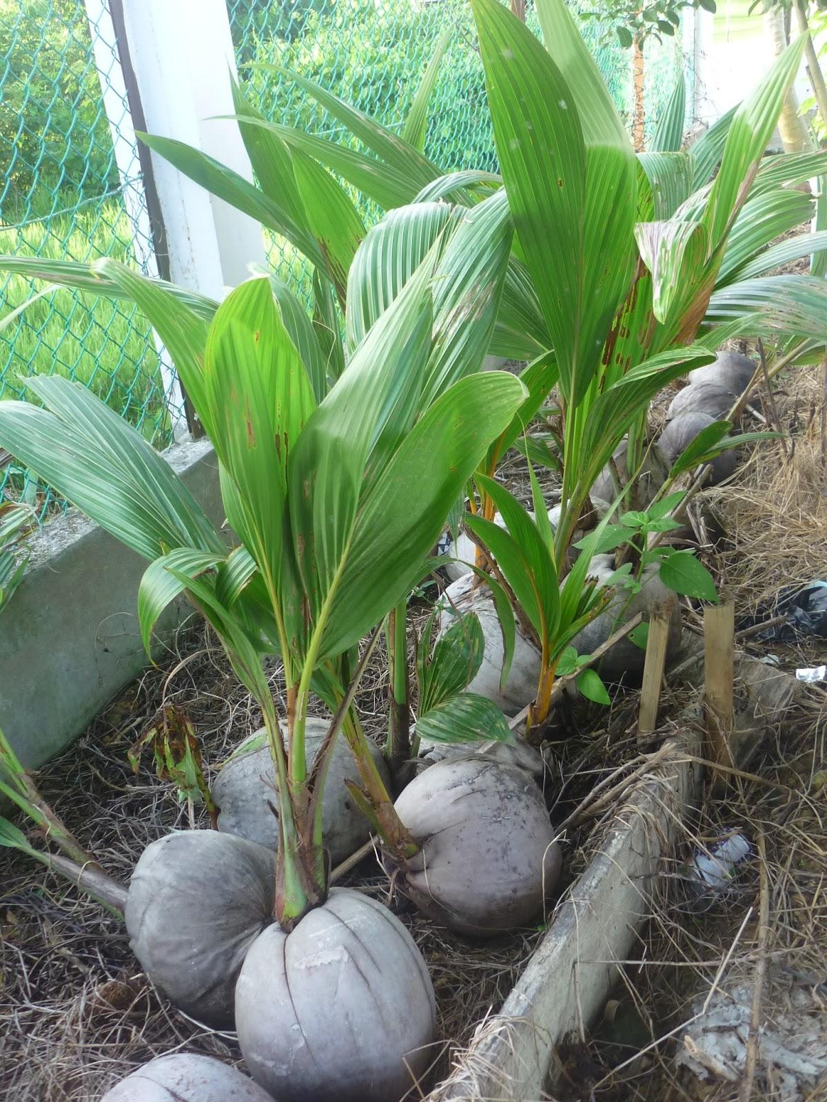 Disini dalam lingkaran ini: kelapa cepat berbuah- pilih ...
