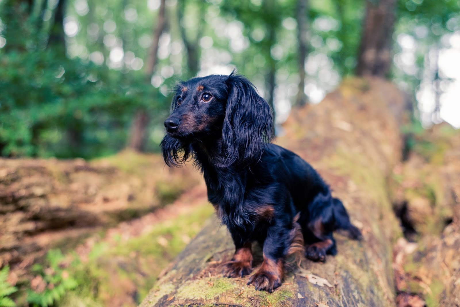 pet photography tips dachshund photo shoot dog liquidgrain liquid grain