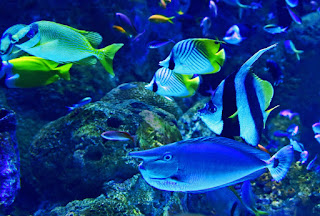 ikan bidadari