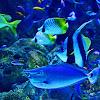 Pedoman Lengkap Cara Budidaya Ikan Manfish atau Angelfish Cocok Bagi Orang Awam