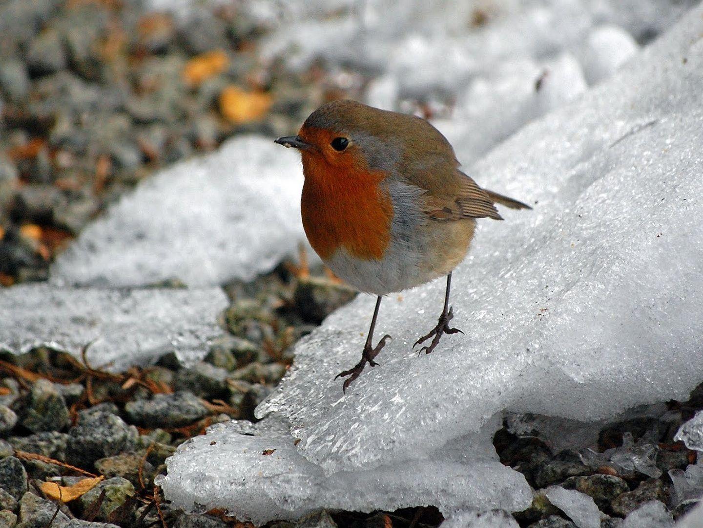 Winter bird images - photo#42