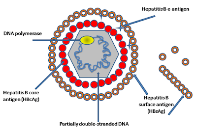 struktur virus hepatitis B