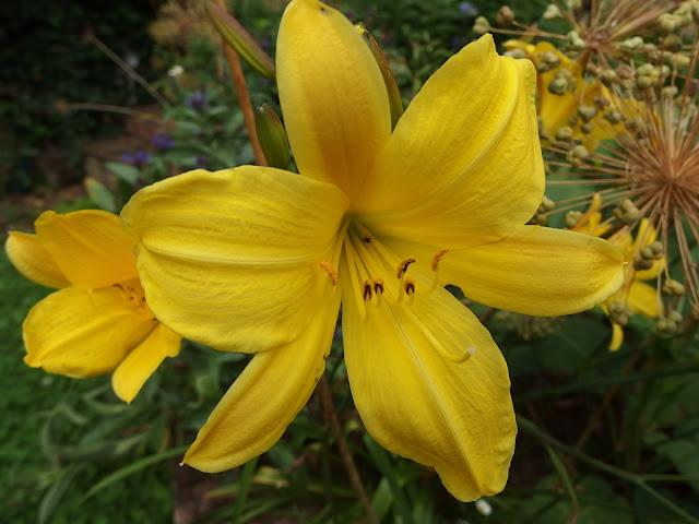 'Hemerocallis Corky' daylily