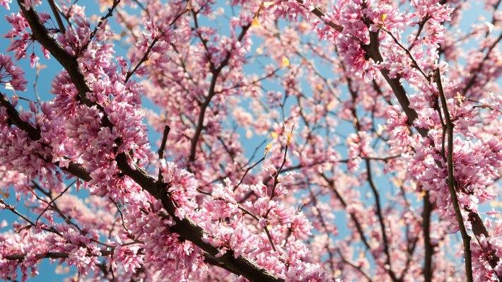 Wallpaper 3: Pink Blossoms