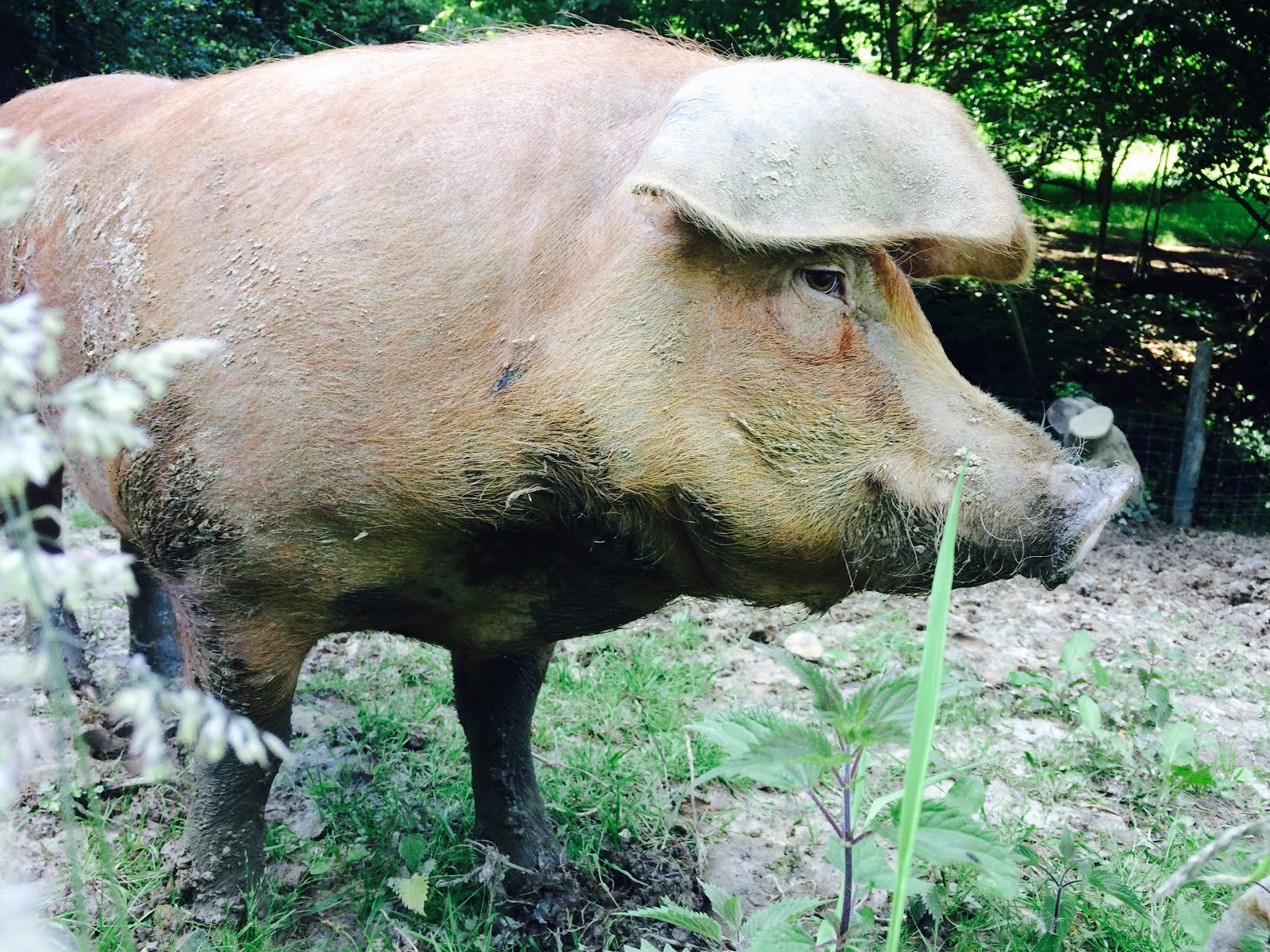USA our Duroc x GOS