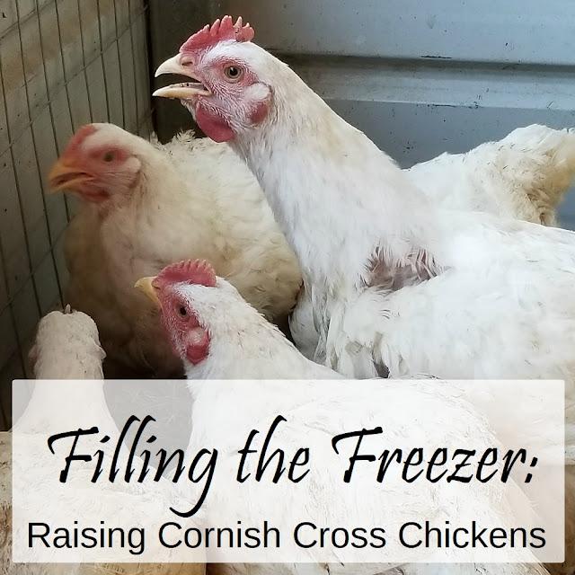 Raising Cornish cross chickens for the freezer