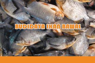 Bisnis Budidaya Ikan Bawal Cepat Panen
