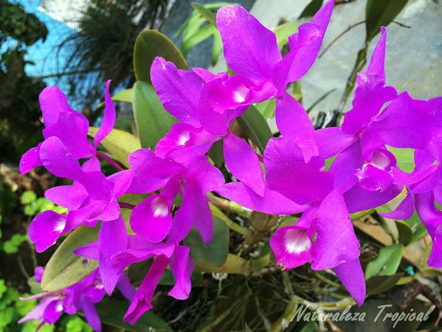 Floración de la orquídea Guarianthe skinneri