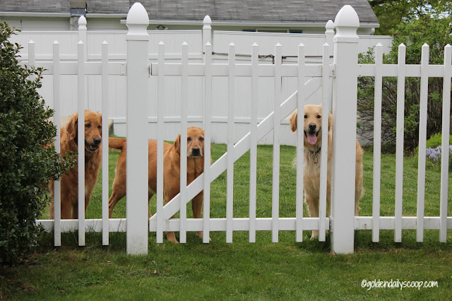 golden retriever dogs waiting behind gate