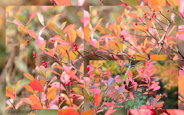 aronia arbutifolia brilliant 2016