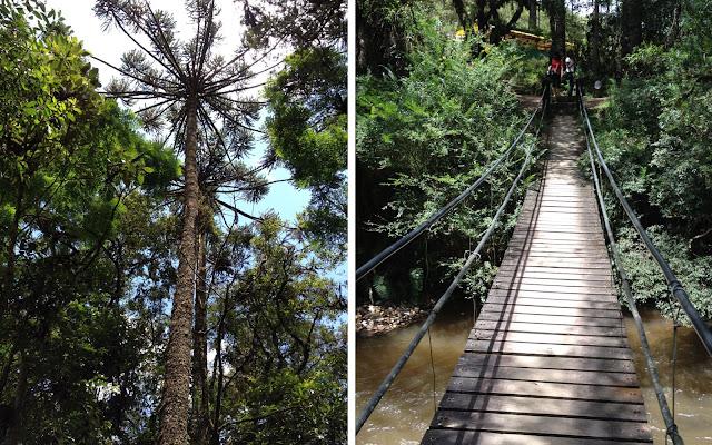 Imensas Araucárias e ponte de madeira