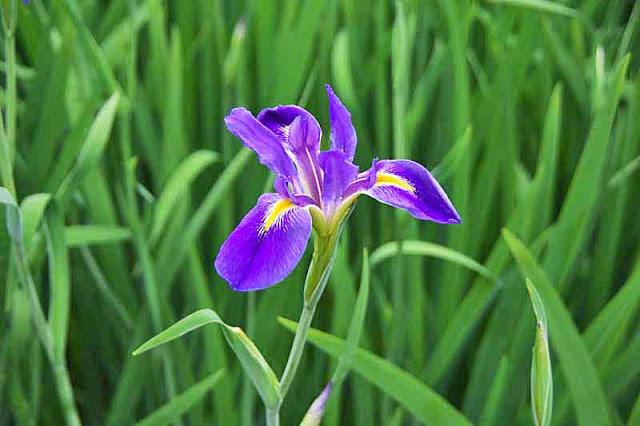 Single iris blossom, close-up