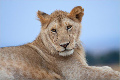 Hembra de león