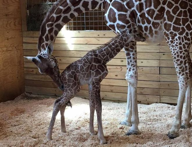 April the giraffe's baby calf is born
