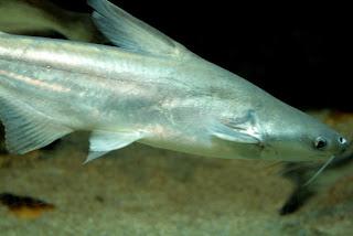 Cara jitu budidaya ikan patin dengan metode tepat guna