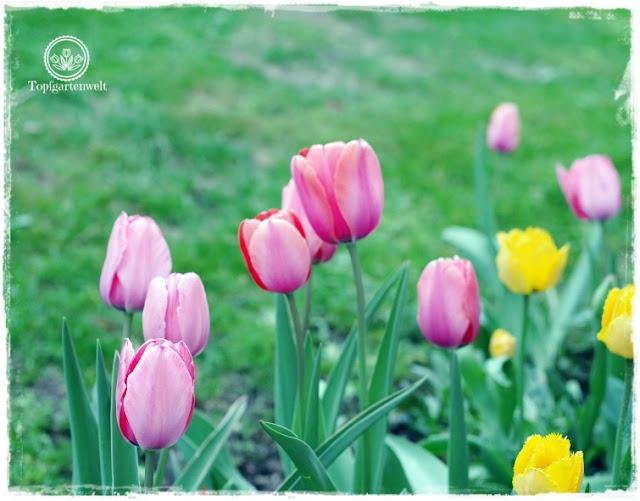 Gartenblog Topfgartenwelt Ostern: bunte Tulpenmischung im Blumenbeet