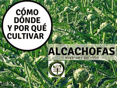 Plantar Alcachofas, apenas tendrás que hacer nada. Este cultivo es apropiado..