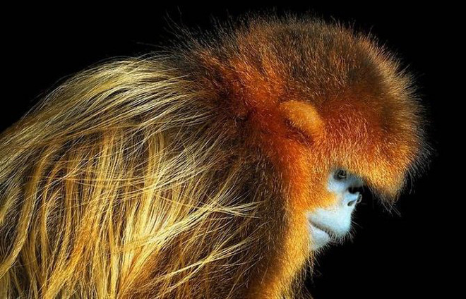 Khỉ hoang dã
