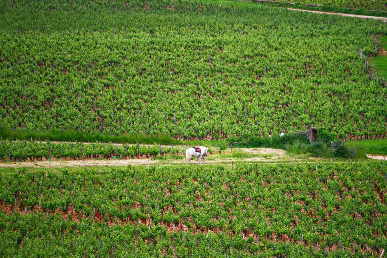 Vignes - Givry