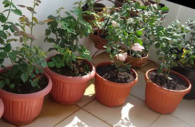 Planting Roses in Polybag and Pots
