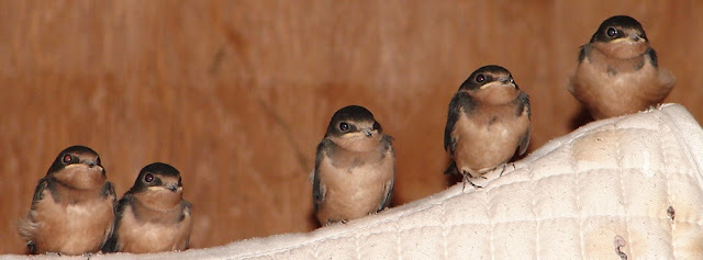 Wild Birds Unlimited: Pictures of Baby Barn Swallows ...