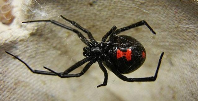 Κινδύνεψε βρέφος 10 μηνών από τσιμπήματα μαύρης αράχνης