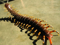 http://www.top10-facts.com/2018/03/scolopendra-gigantea.html