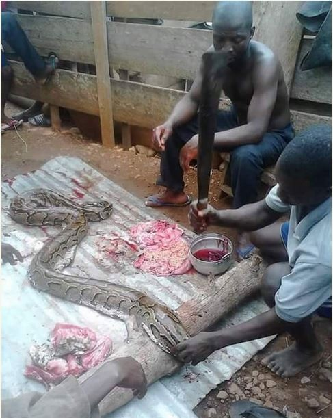 Massive Python Killed in Ebonyi State....Ends Swiftly in the Cooking Pot (Photos)