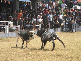 Serunya Kontes Domba Garut