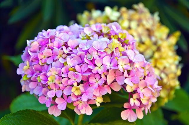 Hortensia en flor.