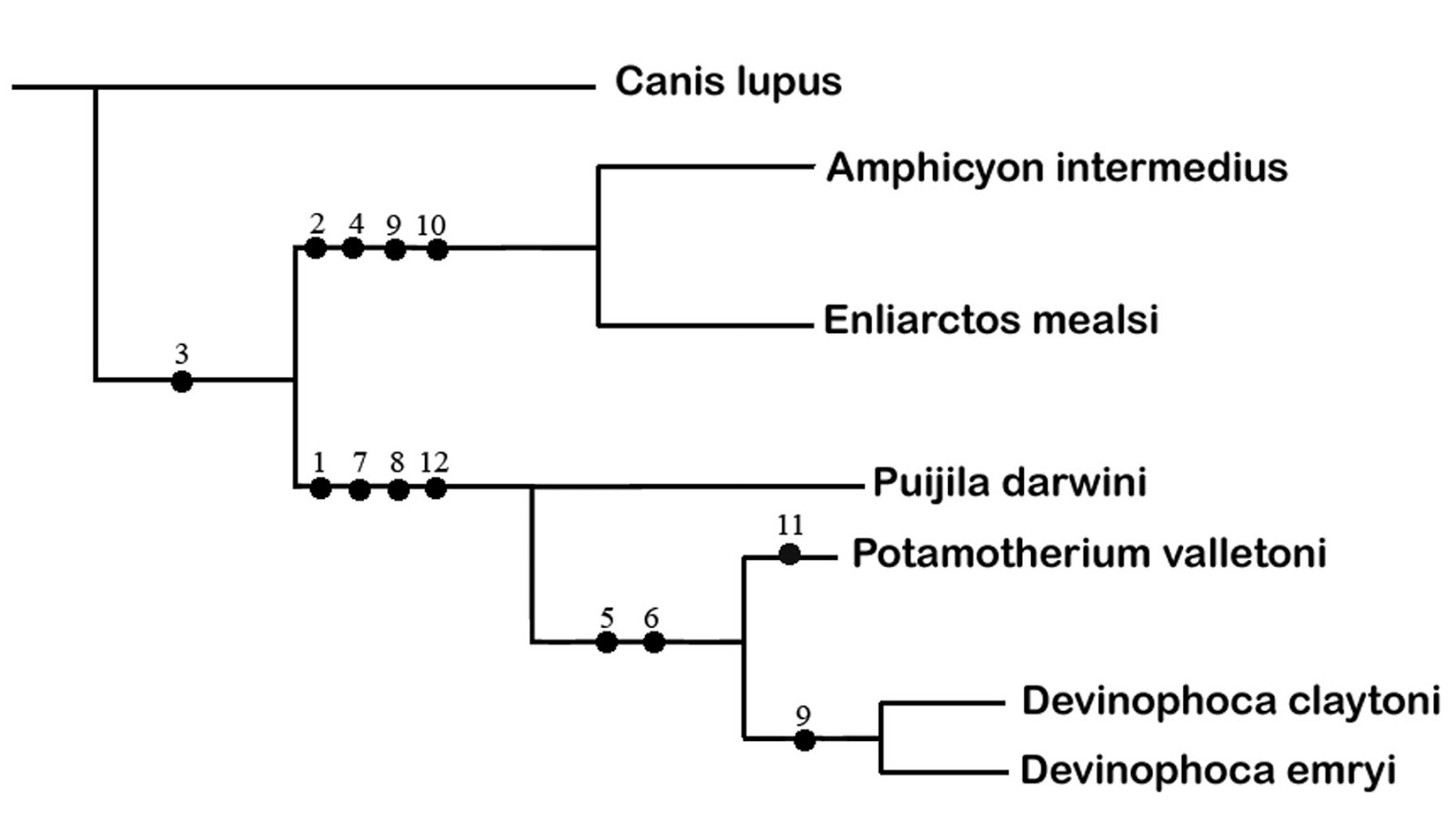 The Coastal Paleontologist Atlantic Edition January 2017 Harbor Seal Skeleton Diagram Carnivora Phocidae Unfortunately Functional Evaluation Within A Phylogenetic Context Is Not Possible Since Skull Missing